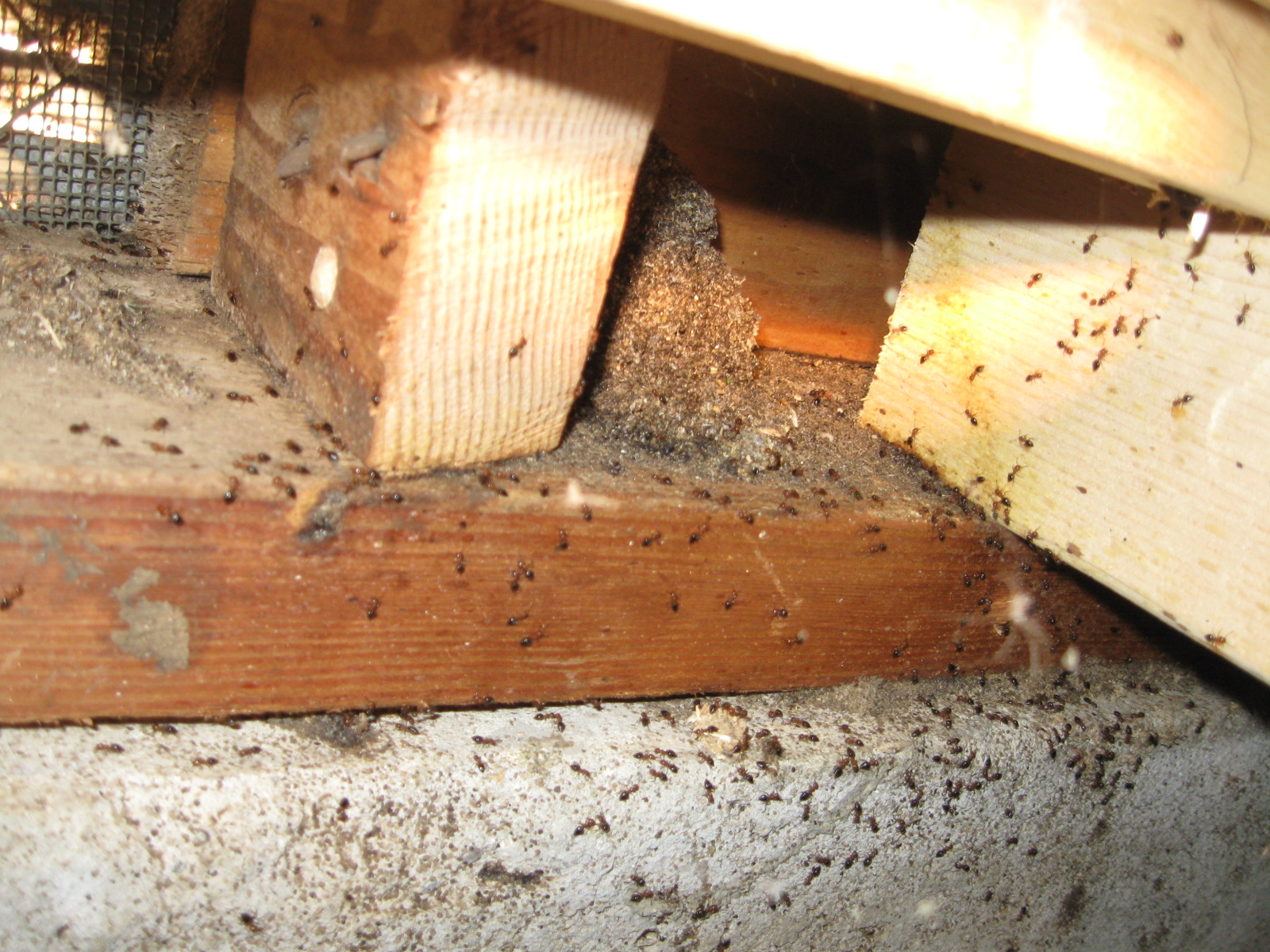 Pest Indentifier Additionally D29vZC1ib3JpbmcgYmVldGxl In Addition
